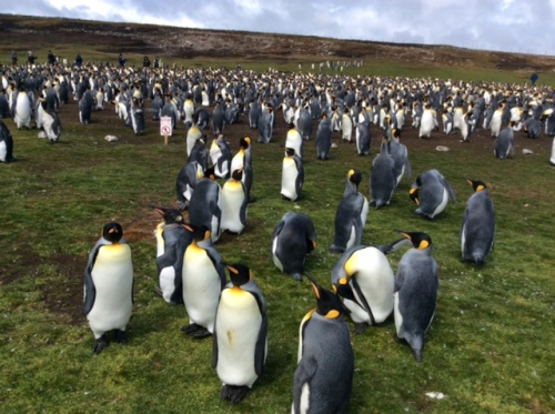 CE Share Mary J Falkland Island penguins