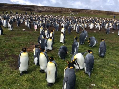 CE Share Mary J Falkland Island penguins