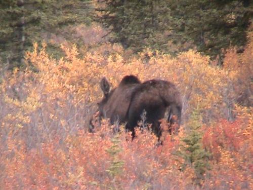 CE Share Pridemore 17 moose in Denali