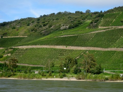 Vinyards along the river